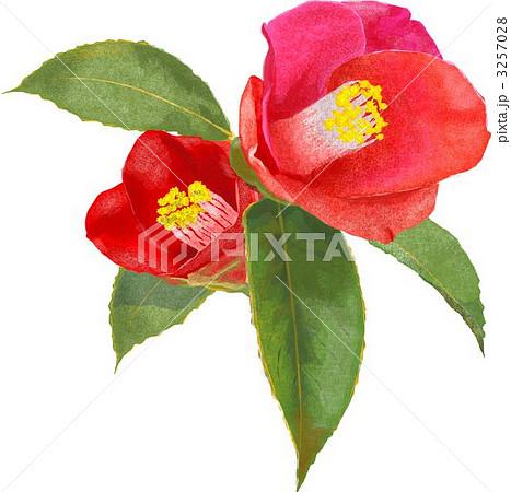 山 冬 椿の花 植物のイラスト素材 Pixta