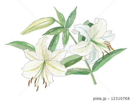 カサブランカ 花 百合 植物のイラスト素材 Pixta