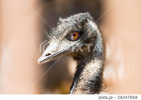 オーストラリアの国鳥の写真素材 Pixta