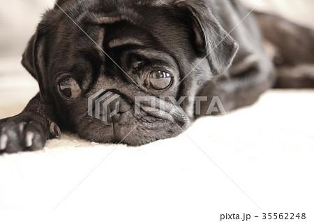 黒パグの写真素材 Pixta