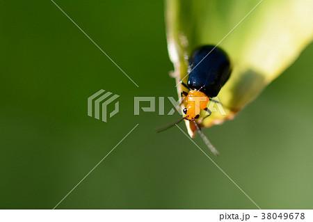 黒瓜金花虫の写真素材 - PIXTA